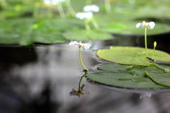 Water lili pad Reflective. Water Lili pads with flowers on center Royalty Free Stock Image