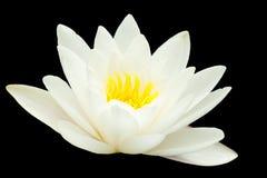 Water Lilie Royalty-vrije Stock Afbeelding