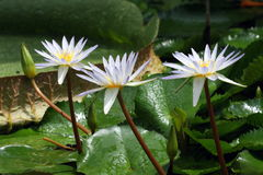 Water lilies. Three flowers from water lilies and their pads Stock Photography