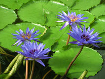 Water lilies. Violet water lilies in the pond Royalty Free Stock Photos