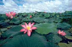 Water Lilies. Giant Pink Water Lilies stock photo