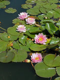 Water lilies royalty free stock images