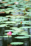 Water Lilies. View of waterlilies in abig pond at Bagan Lalang, selangor, Malaysia Royalty Free Stock Image