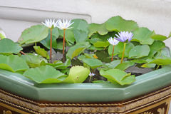 Water lilies Stock Image
