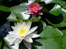 Water lilies. White and pink water lilies in a pond Royalty Free Stock Image