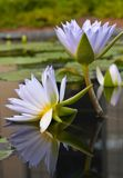 Water-lilies Stock Photos