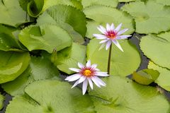 Water Lilies. Float in a pond full of lily pads Stock Images