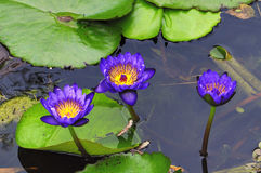 Water Lilies. Three purple Water Lilies in a pond in South Florida Royalty Free Stock Photos