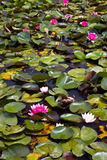 Water lilies. Pond covered with red and white water lilies in the Floral Park of Paris Stock Photos
