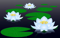 Water lilies. Flowers and leaves of water lilies are on the surface of the serene water Stock Photos