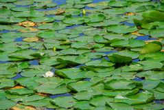 Water lilies stock photos