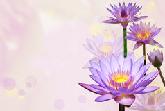 Water lilies royalty free stock image
