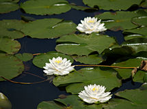 Water Lilies. Three white water lilies and many lily pads float along the top of a marsh in Ohio Royalty Free Stock Images