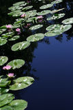 Water Lilies. In a pond with room for copy space Stock Images