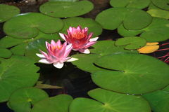 Water lilies. Pink water lotus flower and green leaves royalty free stock photography