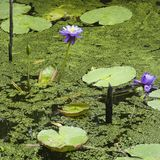 Water lilies. stock images
