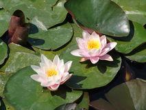 Water Lilies. Two beautiful water lilies in a lily pond in a German town Stock Photos