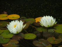 Water lilies. White water lilies in a small pool royalty free stock photos