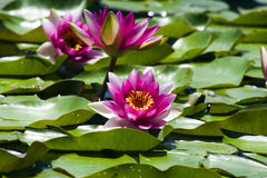 Water Lilies. Stunningly pink water lilies in a pond Royalty Free Stock Photography