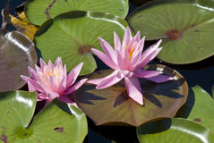 Water Lilies. Captured on a sunny day royalty free stock photos