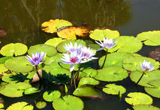 Water Lilies. Lavender water lilies with deep red centers royalty free stock image