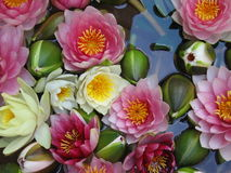 Water Lilies. In Vienna, Austria Stock Photo