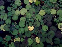 Water lilies Stock Photography