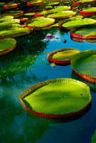 Water lilies. Water america  lilies on mauritius Royalty Free Stock Photography