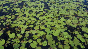 Water lilies in Australia Stock Photo