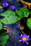 Water Lilies Background Royalty Free Stock Photography