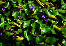 Water Lilies Background Stock Images