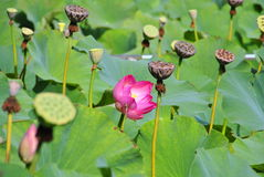 Water lilies. In Baile Felix were brought from the Ganges delta after more than a hundred years.  are aquatic plants. A dragonfly sitting on a lily flower royalty free stock photo