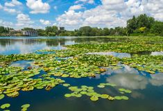 Water lilies. Beautiful water lilies in water on a background of reflection of the blue sky with clouds stock photo