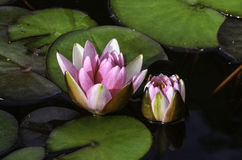 Water lilies. Beautiful pink water lilies in a sunny day Royalty Free Stock Photo