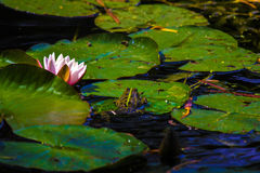 Water lilies. Blooming water lilies in a pond marsh Royalty Free Stock Photo