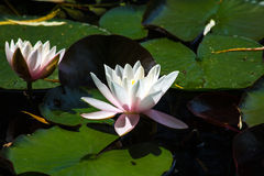 Water lilies. Blooming water lilies in a pond marsh Royalty Free Stock Images
