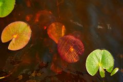 Water lilies blooming in the spring. In a lake, Polesie, Poland royalty free stock photography