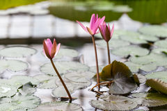 Water lilies in the botanical garden. St. Petersburg. Russia. Royalty Free Stock Photos