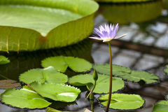 Water lilies in the botanical garden. St. Petersburg. Russia. Stock Images
