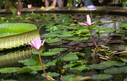 Water lilies in the botanical garden. St. Petersburg. Russia. Royalty Free Stock Images