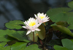 Water lilies in the botanical garden. St. Petersburg. Russia. Stock Photography