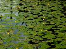 Water lilies. Bright green leafs with bright yellow flowers, found in a lake while road Tripping around British Columbia, Canada Royalty Free Stock Images