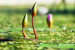 Water Lilies, Bud, Pond, Green Royalty Free Stock Photography