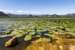 Water lilies carpeting Lake Skadar, Montenegro. In summer royalty free stock images