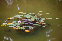 Water lilies in the city pond royalty free stock photography
