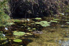 Water lilies in a clear water pond Stock Photography