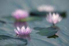 Water lilies 3d illustration. Flowers were 3d modeled with plant factory Stock Images
