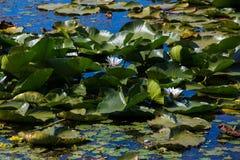 Water lilies. Danube Delta stock photo