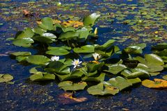 Water lilies. Danube delta royalty free stock photo