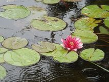 Water Lilies With Flower stock photos